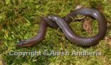 Purple-red Earth Snake